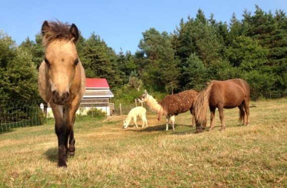 This little pony was enjoying the sunny August day on Prince Edward Island in the pasture with his mama and her friends the llamas!