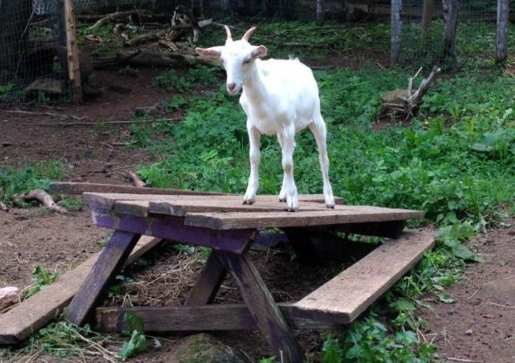 Our bus tour with the Greater Moncton Dahlia Club could also have been called the Glorious Goat Tour! This little cuties was hanging out on the picnic table.
