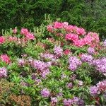 Rododendrons at Victoria Beacon Hill Park