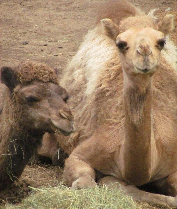 Such sweet faces, a bit like a cross between a moose and a llama.