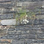 halifax-citadel-daisies-in-stone-cracks