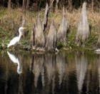 White Heron with Bald Cypress Trees