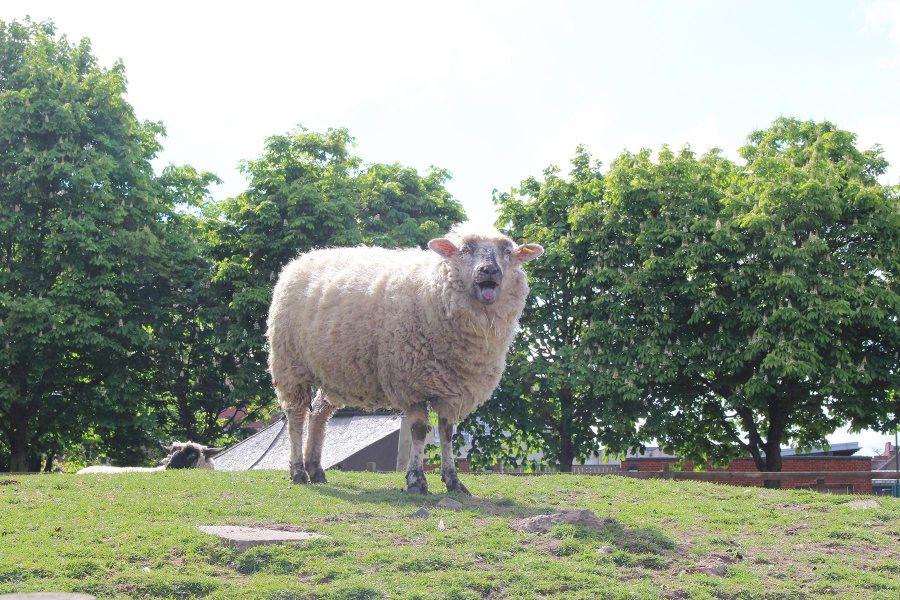 Lammas näyttää kieltä Hackney City Farmilla. Kuva: Sonti Malonti, flickr.com, CC BY-SA 2.0