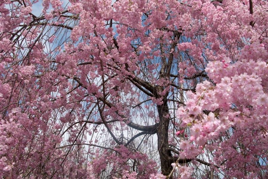 Tokiossa on pinkkiä kirsikkaa vähemmän kuin valkoista. Kuva: Curt Smith, flickr.com