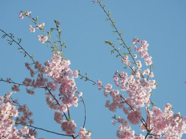 Sakura / Aoyama. Kuva: Marufish, flickr.com, CC BY-SA 2.0.