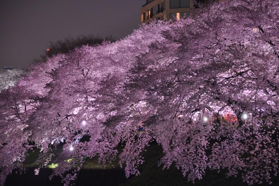 Chidorigafuchi loistossaan. Kuva: Marufish, flickr.com, CC BY-SA 2.0.