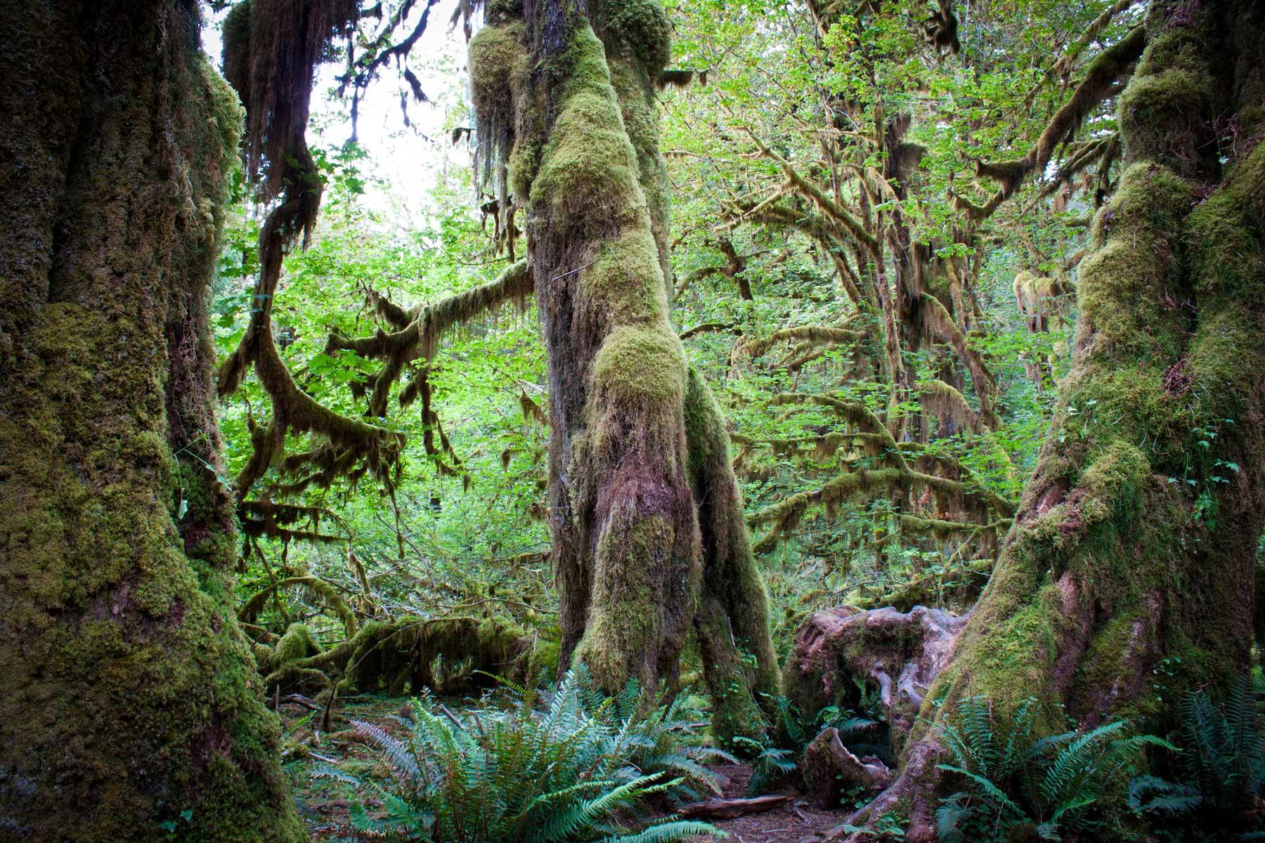Hall of Mosses on helppo kävelyreitti Hoh'n sademetsässä Olympic National Parkissa. (c) Abhinaba Basu/Flickr.com, CC 2.0