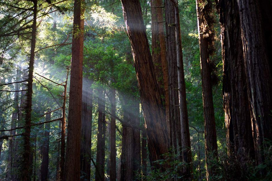 Auringon maaginen valo lävistää Muir Woodsin punapuut. Kuva: Julian Fong, Flickr.com, CC 2.0.