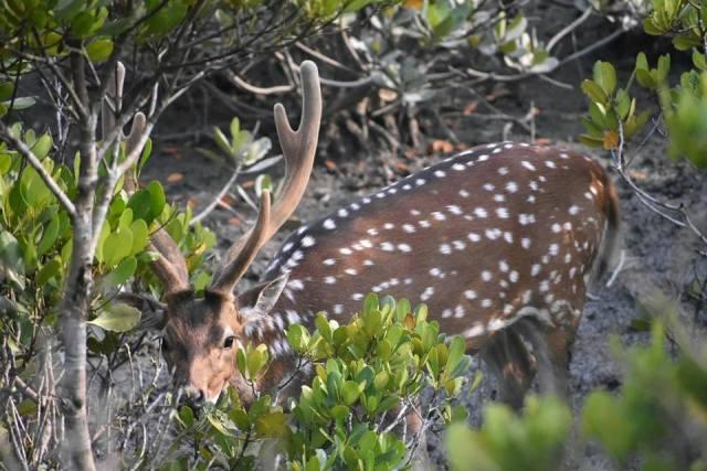 Spotet deer sundarban