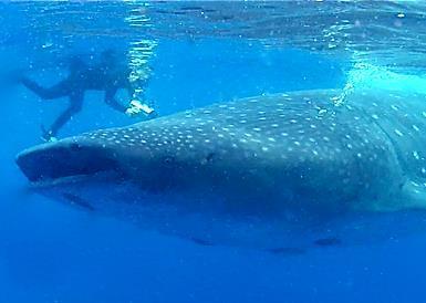 Chuck Nicklin filming a Whale Shark