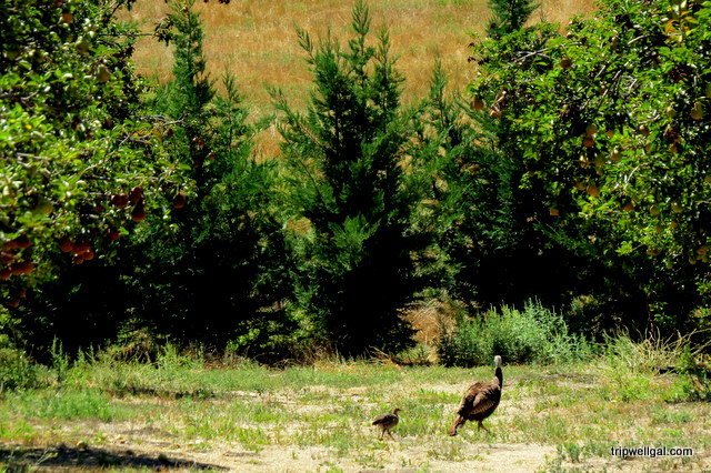 Mama wild turkey in the orchard.