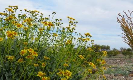 Desert wildflowers – Anza Borrego road trip tips