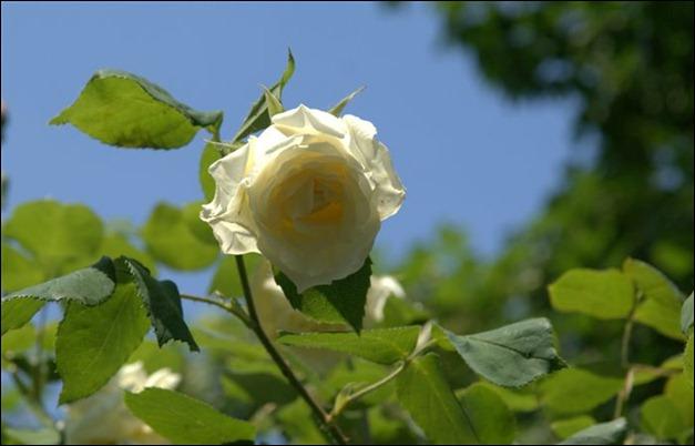 brilliant-light-white-rose