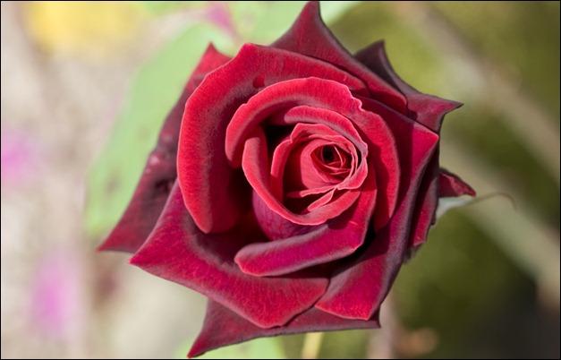 deep_red_rose