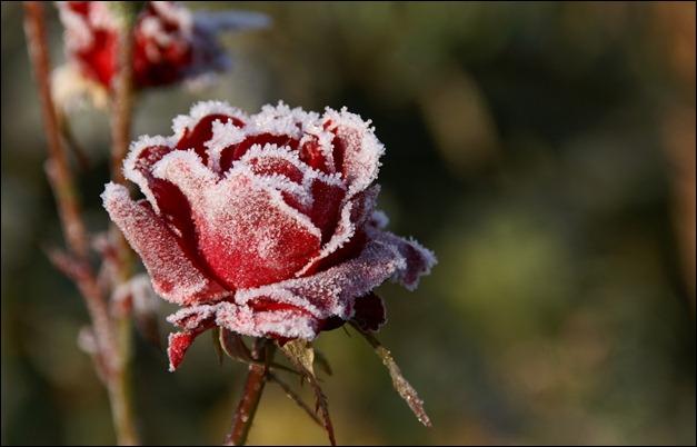 frozen_rose