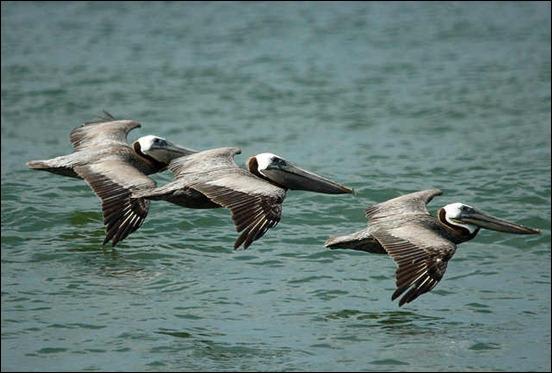 brown-pelican-in-flight
