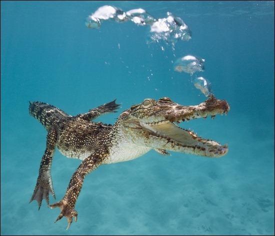 crocodile-underwater