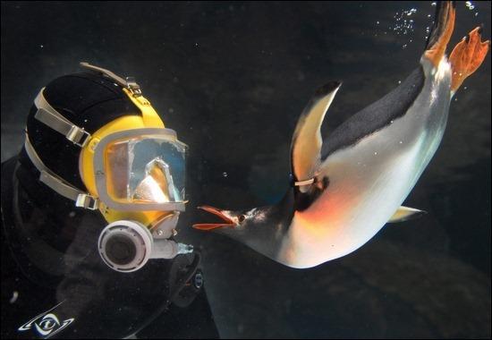 diver-penguins-underwater
