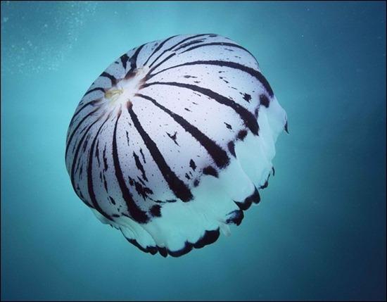purple-california-jellyfish
