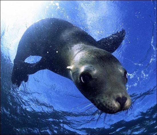 sea-lion-underwater