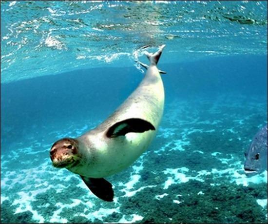seals-underwater