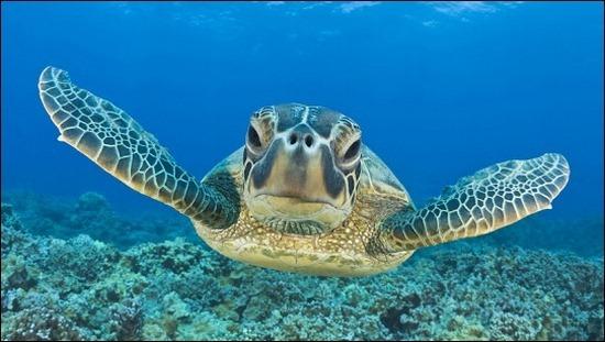 turtle-swimming[3]