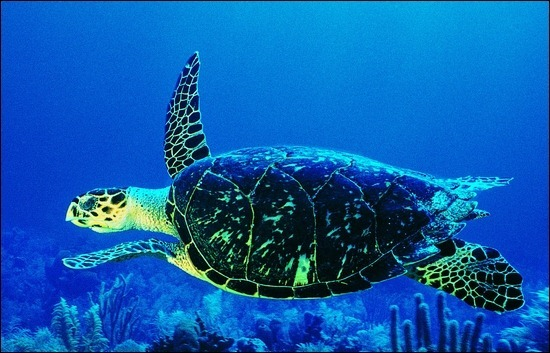 turtles-underwater