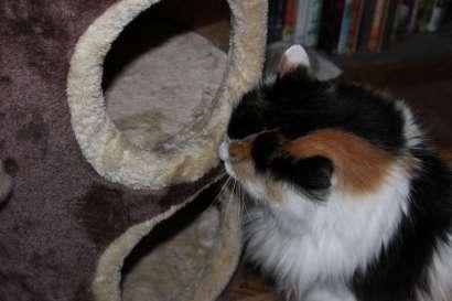 Callie sniffs and licks the cat condo after a spritz of catnip spray.