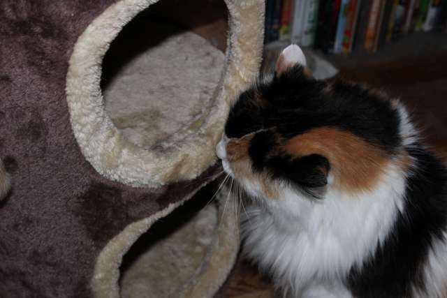 Callie sniffs and licks the cat condo after a spritz of catnip spray.