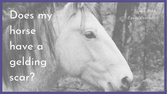 What is a gelding scar?