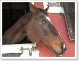 brown horse peeking out of stall
