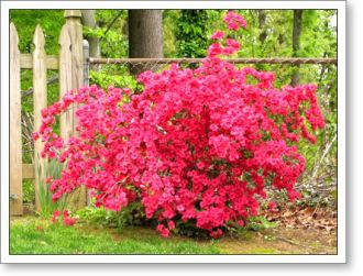 hot pink azaleas in the backyard