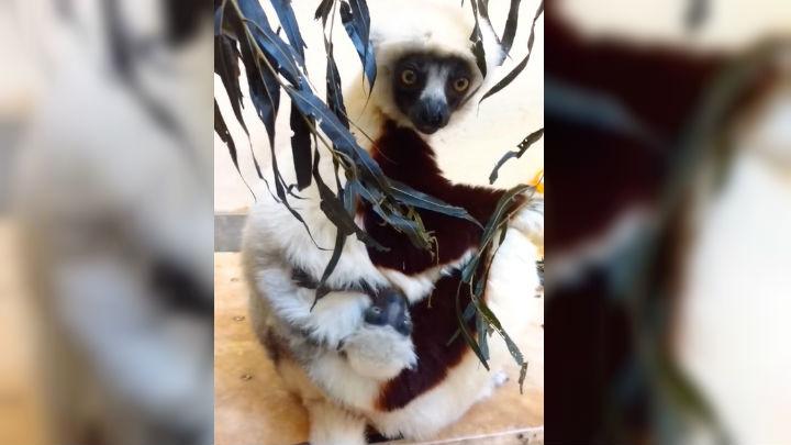 lemurs web_1552099844018.jpg.jpg