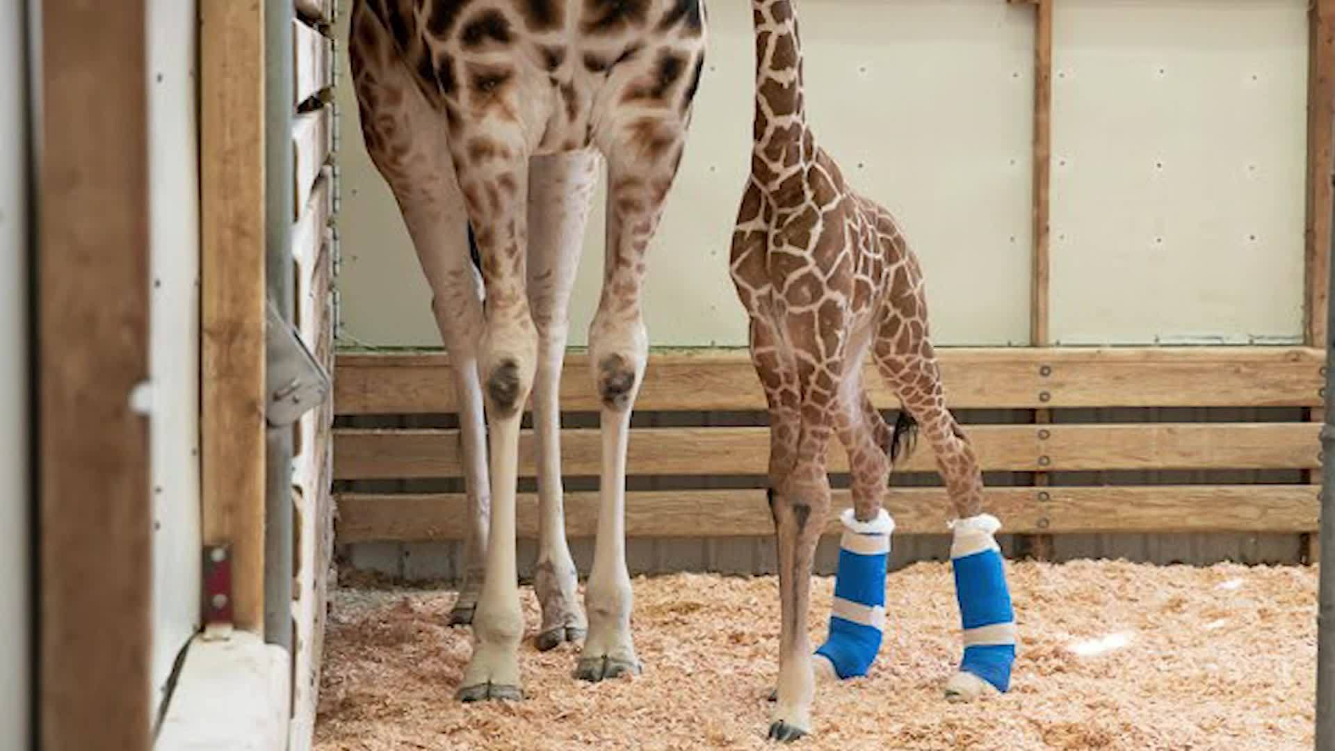 Washington__Baby_giraffe_gets_therapeuti_2_20190508203030