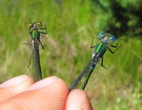 Pudrad smaragd t v, kraftig smaragd t h. Foto: Magnus Billqvist / Trollsländeföreningen.