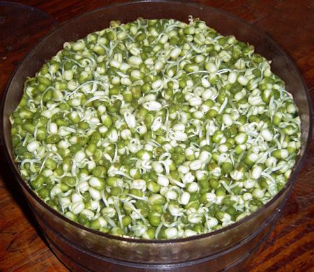 Trong khoảng một ngày khi đỗ xanh nứt vỏ đưa vào khay, hạt bắt đầu nảy mầm