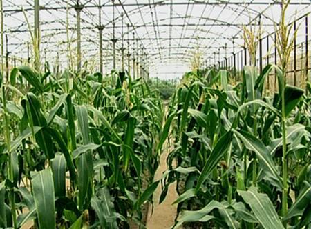 cây trồng biến đổi gien