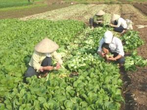 Ruộng trồng cải thìa