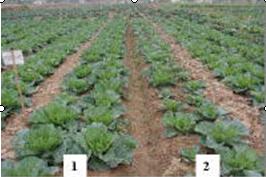Thực hiện trồng rau trên ruộng thí nghiệm và đối chứng theo PGS