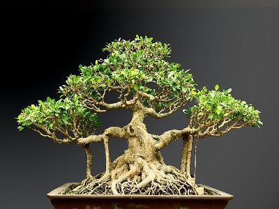 Gừa bonsai