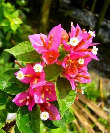 Tên khoa học Bougainvillea Brasiliensis Rauesch