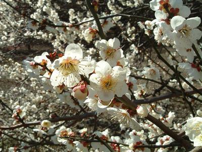 Hoa cây Bạch Mai