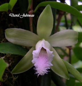 Vanila aphylla