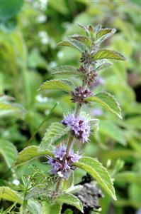 Húng cây có tên kho học là Mentha arvensis - họ Hoa môi