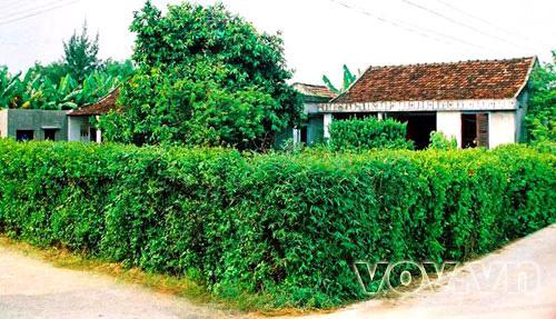 Rào bông bụt là loại cây cảnh thường thấy ở cảnh quê xưa
