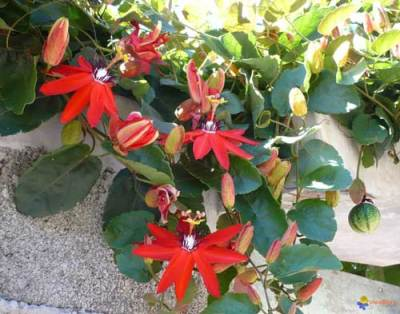 Tên khoa học Passiflora vitifolia