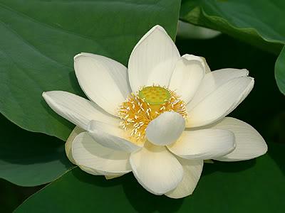 Hoa sen được ướp vào trà ta gọi là trà hương Sen