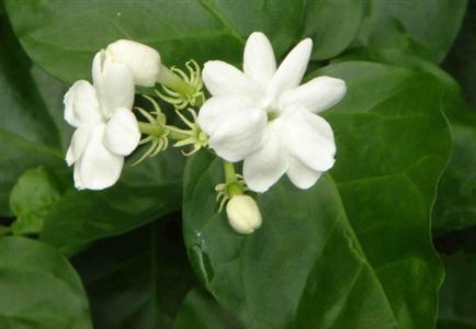 Hoa lài - loại hoa thường dùng để tạo hương trà được rất được ưa chuộng
