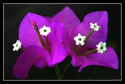 Hoa giấy có tên khoa học là Bougainvillea brasiliensis