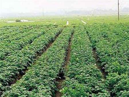ruộng khoai tây